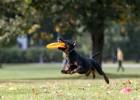 Nedēļas nogalē notiks Latvijas čempionāts suņu frisbijā