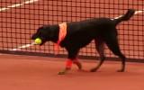 Video: Brazīlijā par bumbiņu padevējiem tenisā strādā suņi no patversmēm