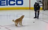 """Video: Piemīlīgs video: suns pirms """"Capitals"""" spēles rotaļājas uz ledus"""