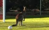 Video: Ķengurs pārtrauc futbola maču
