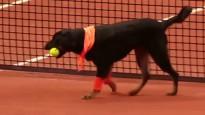 Brazīlijā par bumbiņu padevējiem tenisā strādā suņi no patversmēm