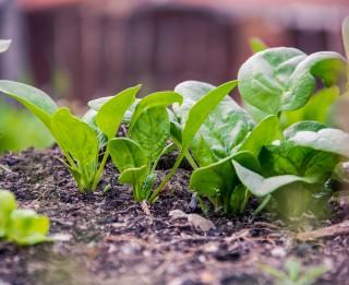 Siltumnīcas sezona tūlīt sāksies! Kas ir agrākie tur audzējamie pavasara našķi?