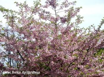 Foto: Rīgā zied sakuras koki. 15 foto