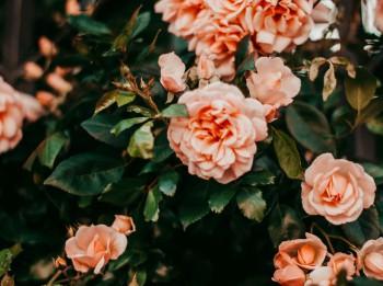 """Dabas muzejā notiks izstāde """"Rožu dārzs 2019''"""