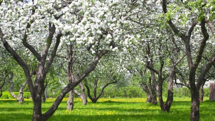 Noderīgi padomi koku atzarošanai un vainaga kopšanai