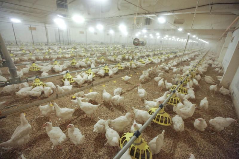 """PF """"Ķekava"""" svaigā vistas gaļa – pirmā gaļa Baltijā ar īpašu norādi """"Audzēts bez antibiotikām"""""""
