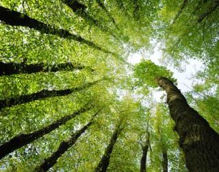 Atrodi savam raksturam atbilstošo koku. Druīdu jeb Gallu horoskops
